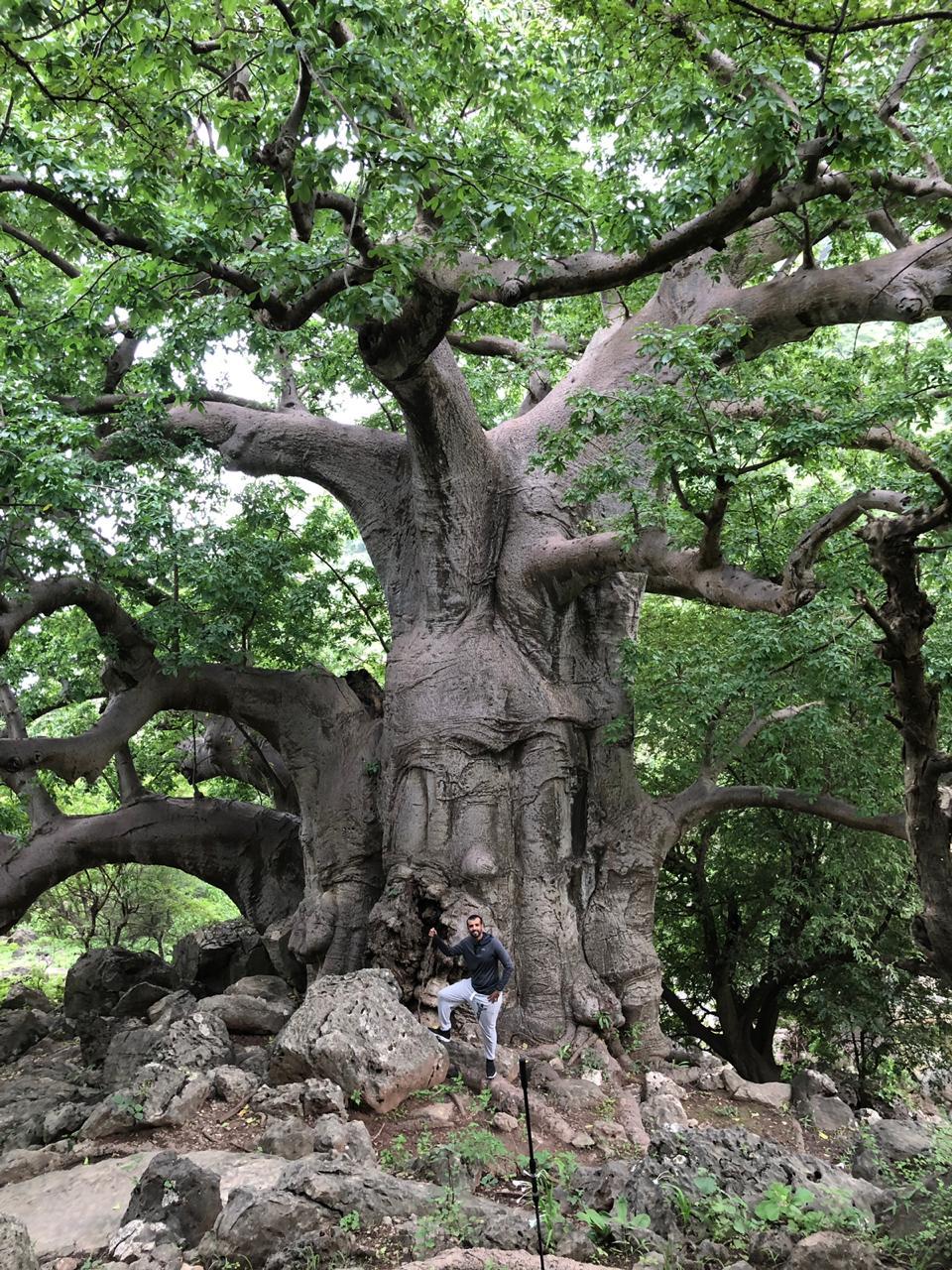 Baobab Grove  (Dhofar)